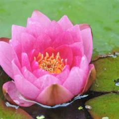 bloemenkaart muller wenskaarten - waterlelie