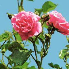 wenskaart muller wenskaarten - roze rozen