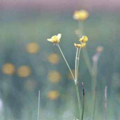 bloemenkaart muller wenskaarten - boterbloem