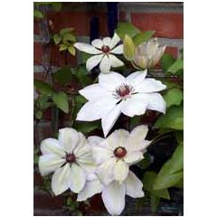grote kaart A4 - clematis