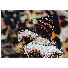 ansichtkaart -  vlinder