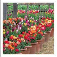 wenskaart woodmansterne - tulpen