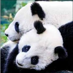 wenskaart woodmansterne - pandaberen