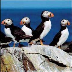 wenskaart woodmansterne - papegaaiduikers