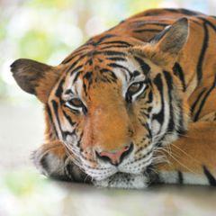 wenskaart second nature - tijger
