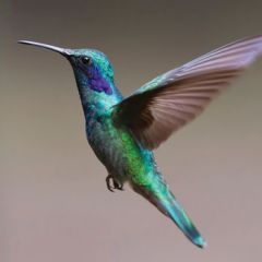wenskaart second nature - kolibrie vogel