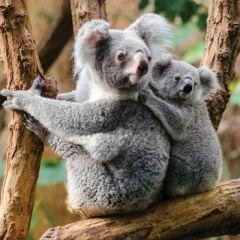 wenskaart second nature - koala