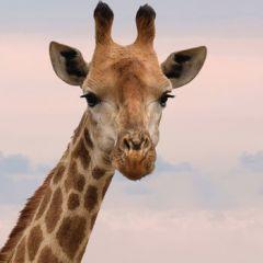 wenskaart second nature - giraffe
