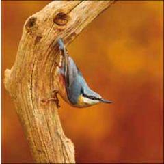 wenskaart woodmansterne - boomklever vogel