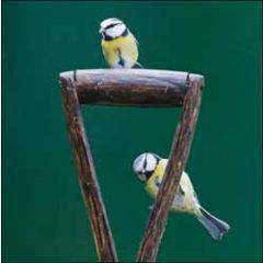 wenskaart woodmansterne - pimpelmeesjes vogels