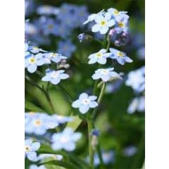 grote bloemenkaart A4 - vergeet-mij-nietje