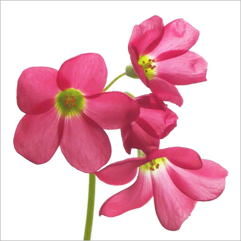 Pretty zwart roze poesje
